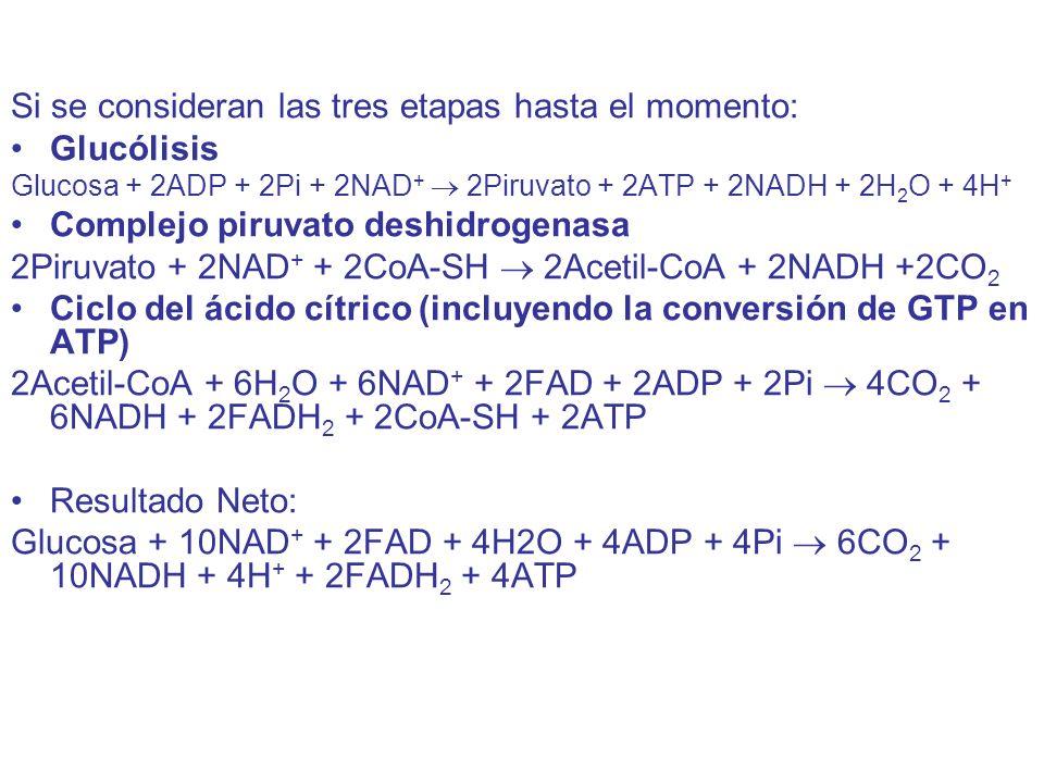 Si se consideran las tres etapas hasta el momento: Glucólisis Glucosa + 2ADP + 2Pi + 2NAD + 2Piruvato + 2ATP + 2NADH + 2H 2 O + 4H + Complejo piruvato deshidrogenasa 2Piruvato + 2NAD + + 2CoA-SH 2Acetil-CoA + 2NADH +2CO 2 Ciclo del ácido cítrico (incluyendo la conversión de GTP en ATP) 2Acetil-CoA + 6H 2 O + 6NAD + + 2FAD + 2ADP + 2Pi 4CO 2 + 6NADH + 2FADH 2 + 2CoA-SH + 2ATP Resultado Neto: Glucosa + 10NAD + + 2FAD + 4H2O + 4ADP + 4Pi 6CO 2 + 10NADH + 4H + + 2FADH 2 + 4ATP