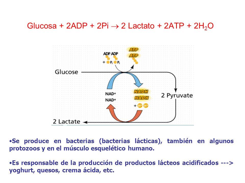 Glucosa + 2ADP + 2Pi 2 Lactato + 2ATP + 2H 2 O Se produce en bacterias (bacterias lácticas), también en algunos protozoos y en el músculo esquelético
