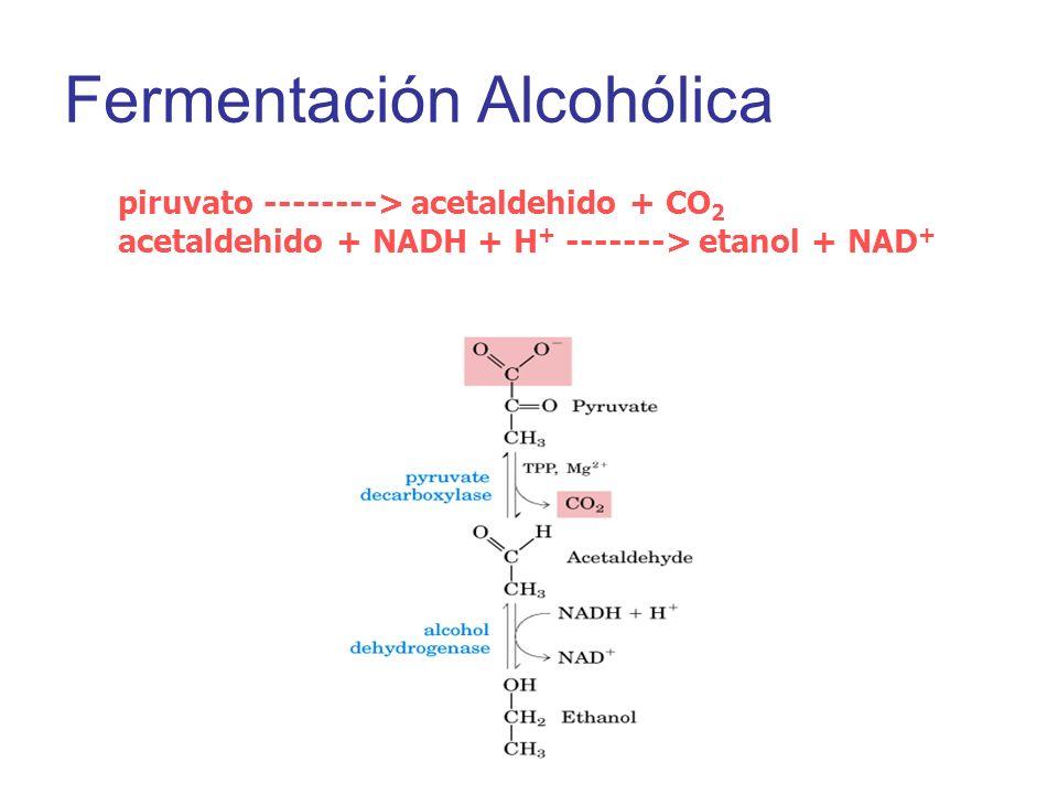 Fermentación Alcohólica piruvato --------> acetaldehido + CO 2 acetaldehido + NADH + H + -------> etanol + NAD +