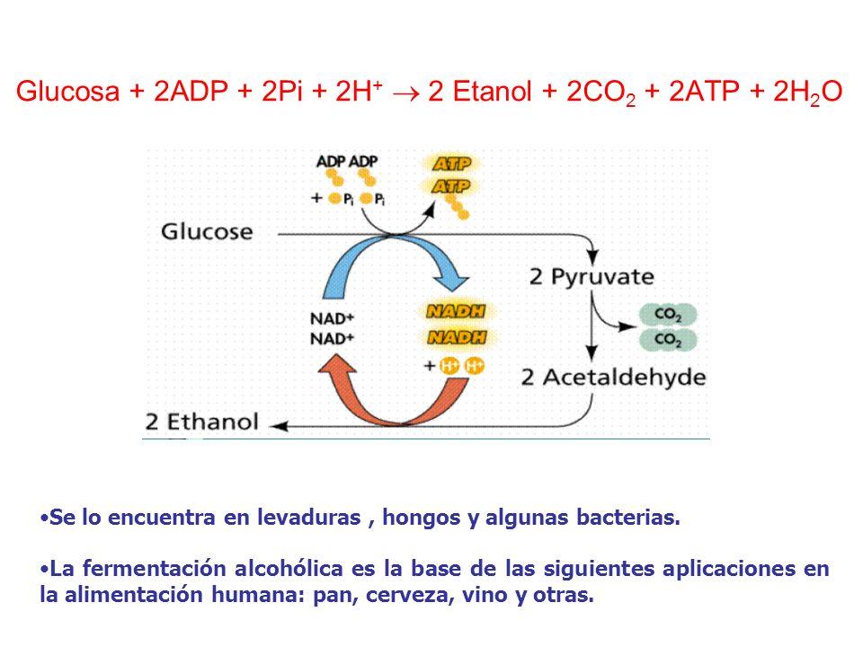 Glucosa + 2ADP + 2Pi + 2H + 2 Etanol + 2CO 2 + 2ATP + 2H 2 O Se lo encuentra en levaduras, hongos y algunas bacterias. La fermentación alcohólica es l