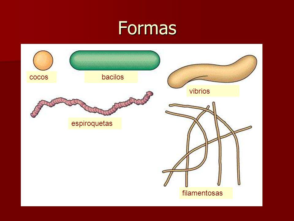 Formas 1. Cocos: (células más o menos esféricas); 2. Bacilos: (en forma de bastón, alargados), que a su vez pueden tener varios aspectos: cilíndricosf