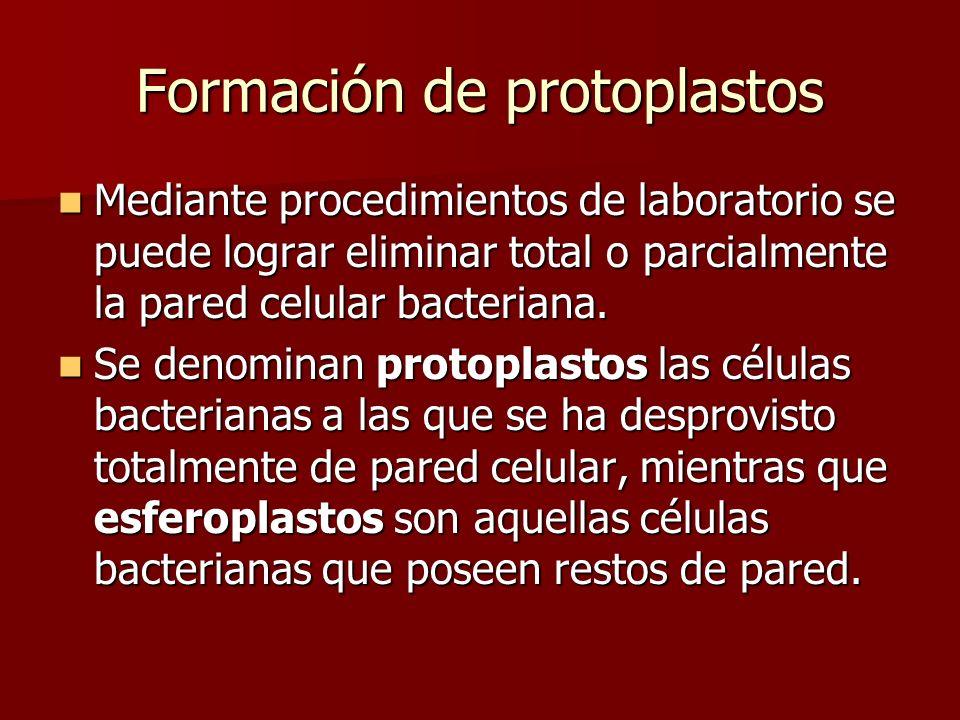Formación de protoplastos Mediante procedimientos de laboratorio se puede lograr eliminar total o parcialmente la pared celular bacteriana.