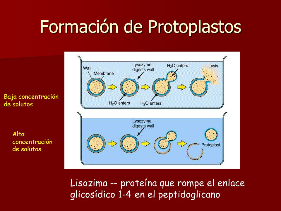 Formación de protoplastos Mediante procedimientos de laboratorio se puede lograr eliminar total o parcialmente la pared celular bacteriana. Mediante p