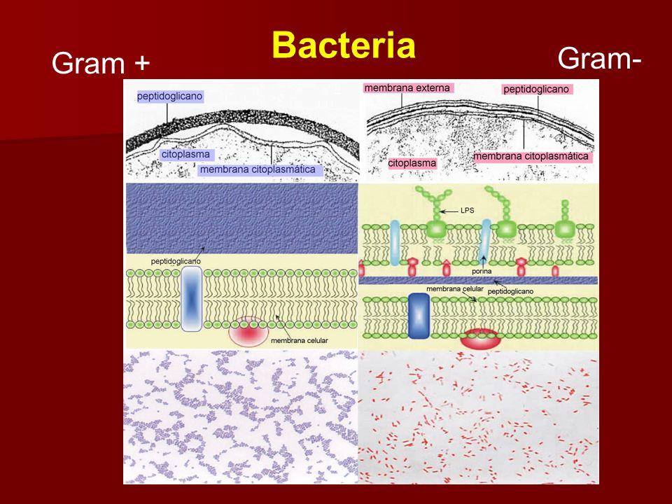 Formación de Protoplastos Alta concentración de solutos Lisozima -- proteína que rompe el enlace glicosídico 1-4 en el peptidoglicano Baja concentraci