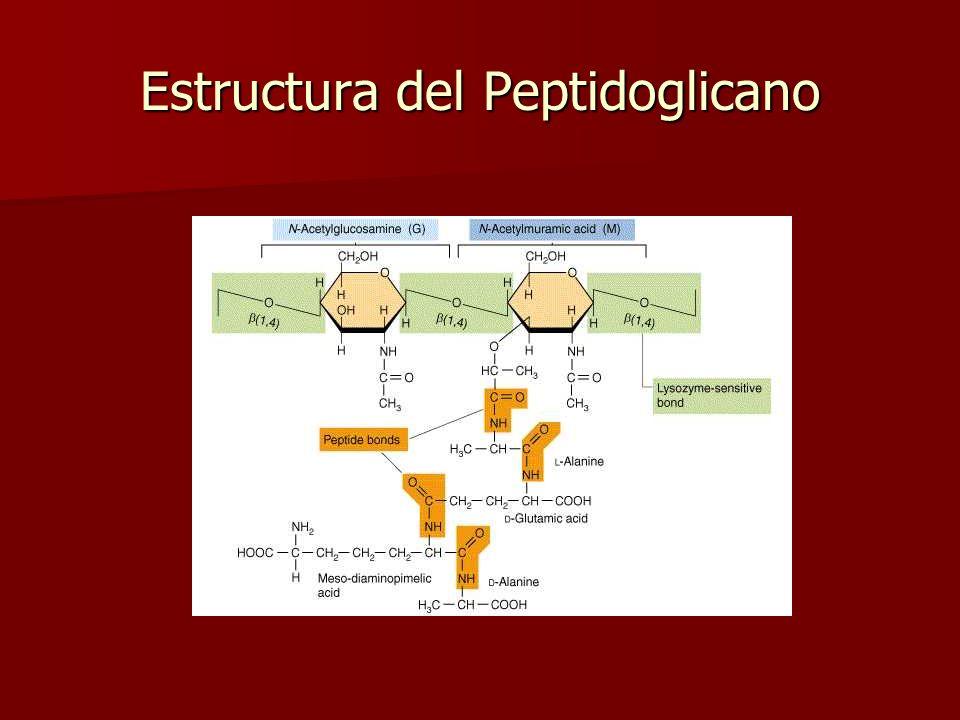 Gram + Gram- Bacteria