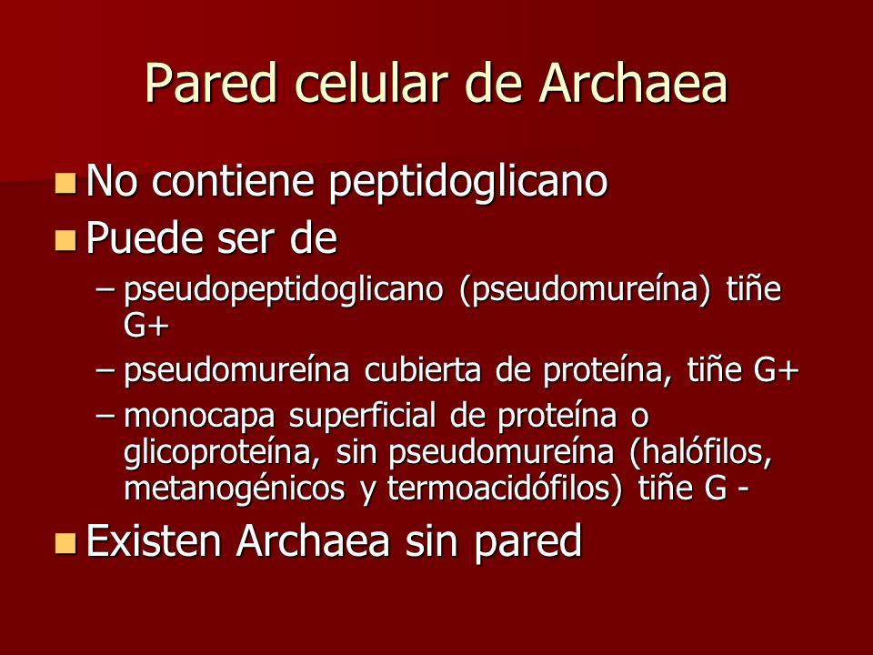 Pared celular de Archaea No contiene peptidoglicano No contiene peptidoglicano Puede ser de Puede ser de –pseudopeptidoglicano (pseudomureína) tiñe G+ –pseudomureína cubierta de proteína, tiñe G+ –monocapa superficial de proteína o glicoproteína, sin pseudomureína (halófilos, metanogénicos y termoacidófilos) tiñe G - Existen Archaea sin pared Existen Archaea sin pared