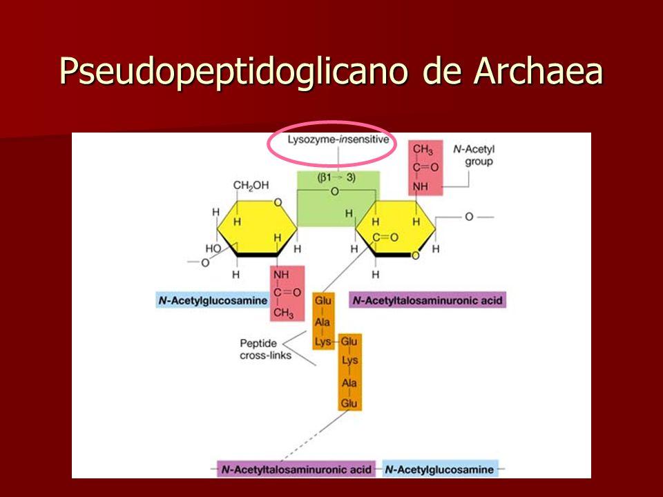 Pared celular de Archaea No contiene peptidoglicano No contiene peptidoglicano Puede ser de Puede ser de –pseudopeptidoglicano (pseudomureína) tiñe G+