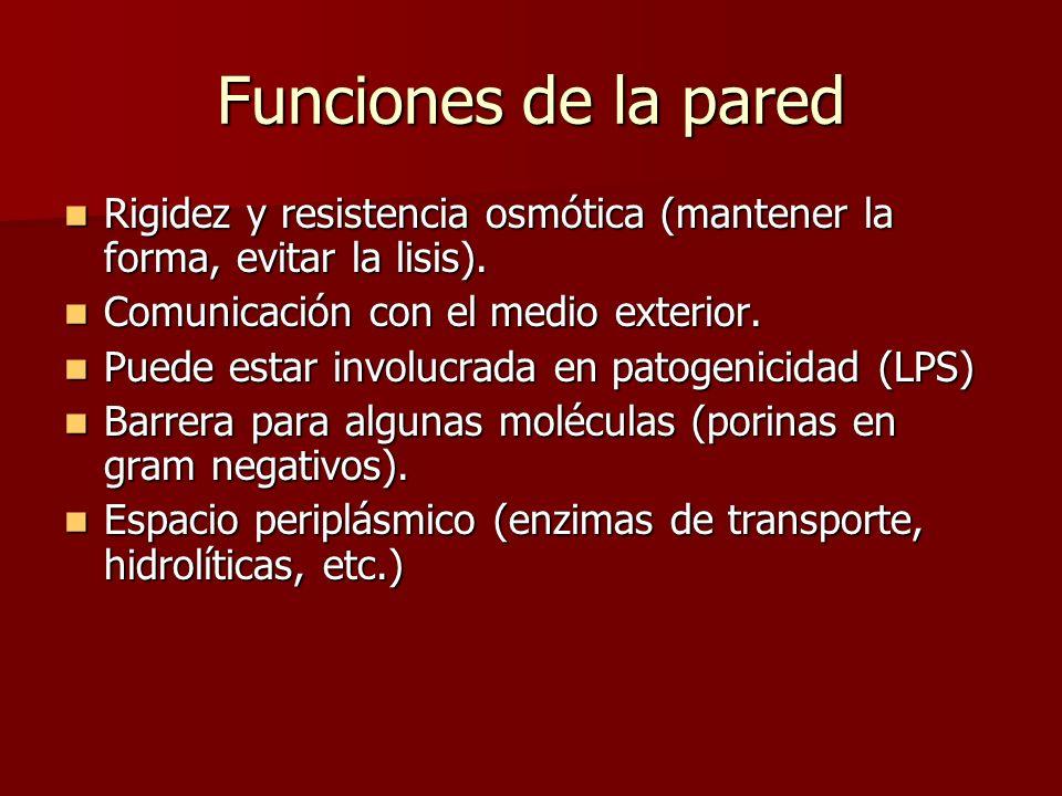 Funciones de la pared Rigidez y resistencia osmótica (mantener la forma, evitar la lisis).