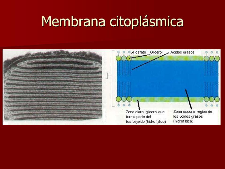 Estructura de la Membrana Citoplasmática