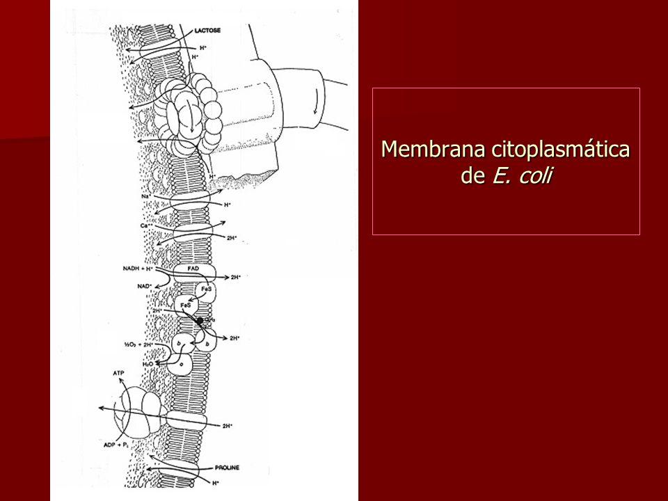 Funciones de Membrana Citoplasmática Barrera de Permeabilidad Barrera de Permeabilidad –sólo moléculas pequeñas, sin carga, hidrofóbicas, pueden atrav