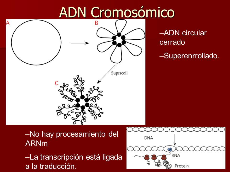 ADN Cromosómico –No hay procesamiento del ARNm –La transcripción está ligada a la traducción.