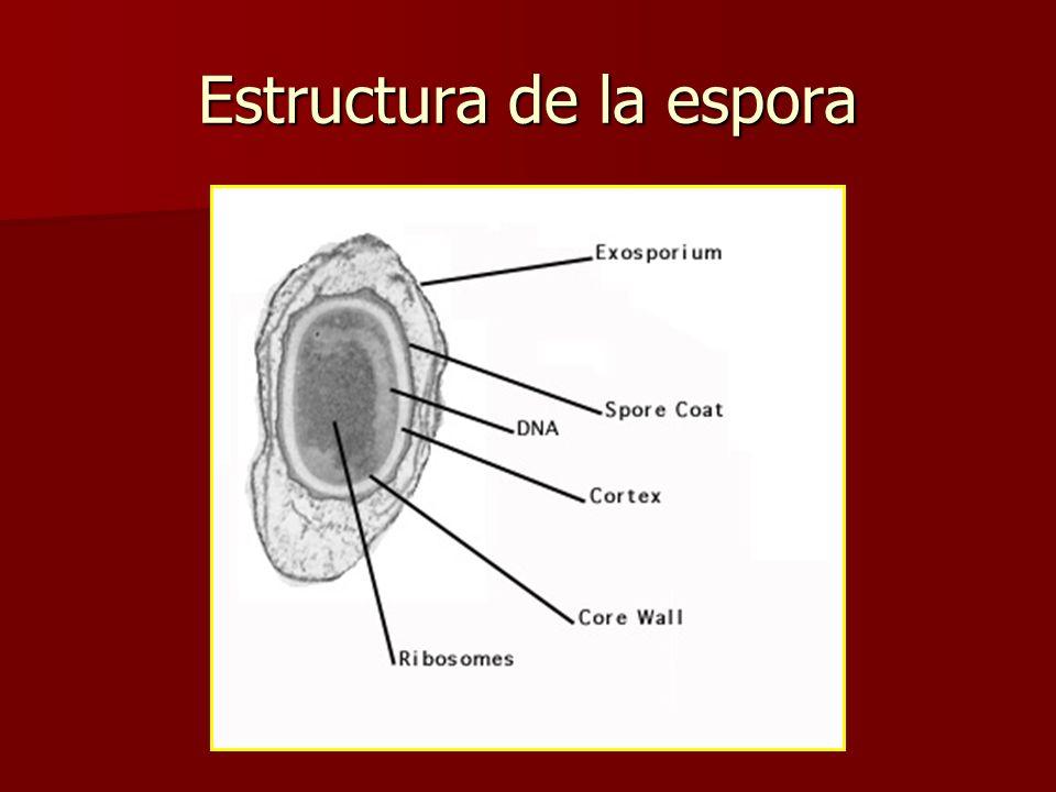 Endosporas Resistencia al calor, radiación, desecación. Resistencia al calor, radiación, desecación. Producidas principalmente por los géneros Bacillu