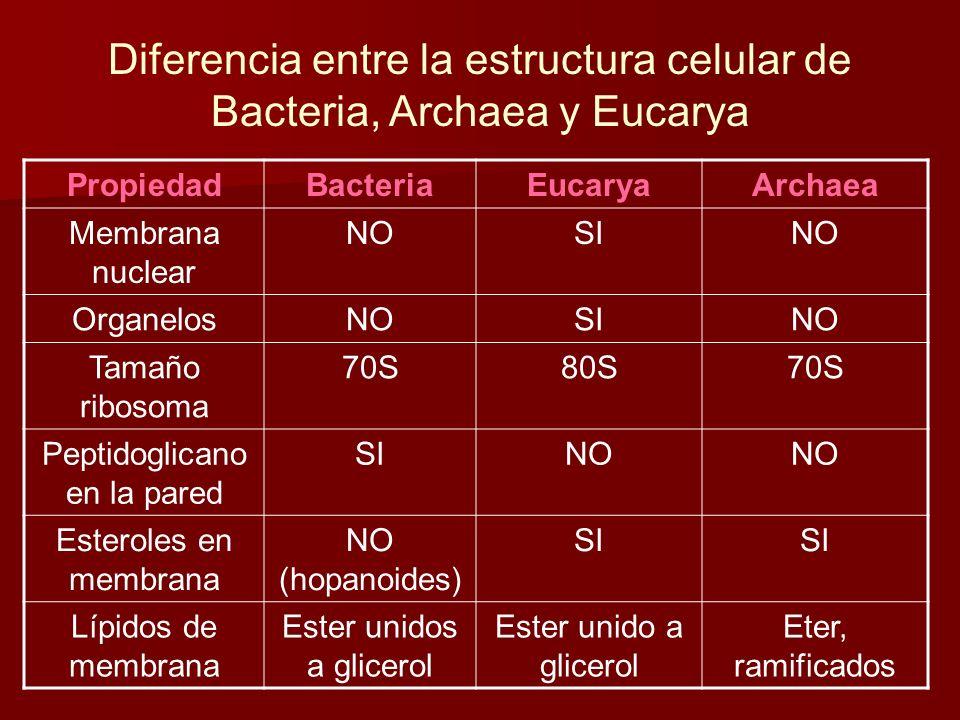 Diferencia entre la estructura celular de Bacteria, Archaea y Eucarya PropiedadBacteriaEucaryaArchaea Membrana nuclear NOSINO OrganelosNOSINO Tamaño ribosoma 70S80S70S Peptidoglicano en la pared SINO Esteroles en membrana NO (hopanoides) SI Lípidos de membrana Ester unidos a glicerol Ester unido a glicerol Eter, ramificados