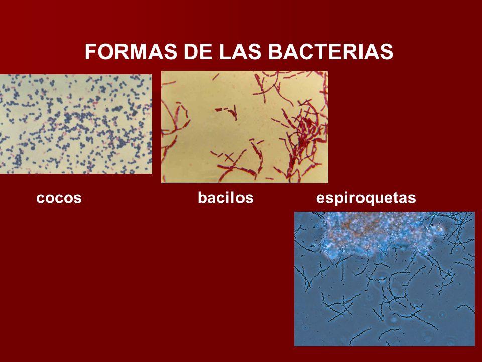 cocosbacilos espiroquetas FORMAS DE LAS BACTERIAS