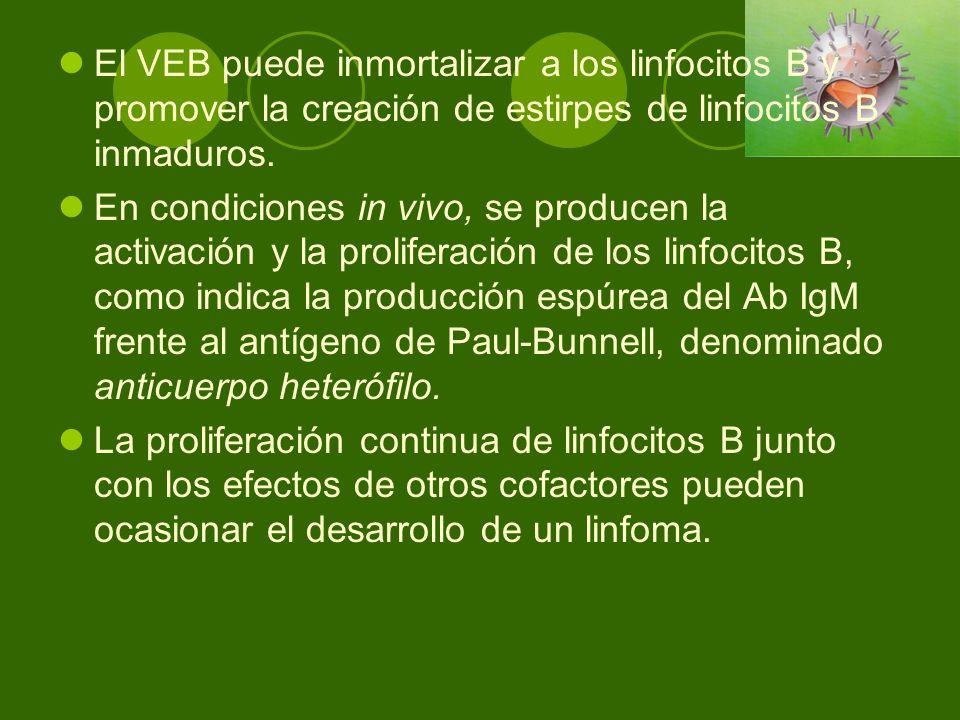 El VEB puede inmortalizar a los linfocitos B y promover la creación de estirpes de linfocitos B inmaduros. En condiciones in vivo, se producen la acti