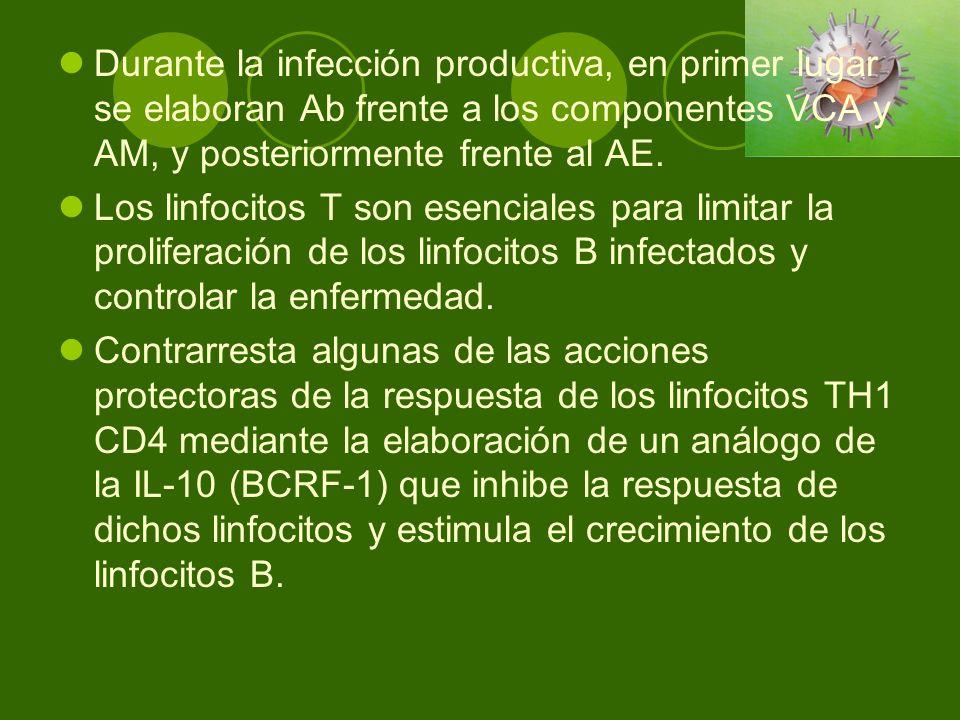 Durante la infección productiva, en primer lugar se elaboran Ab frente a los componentes VCA y AM, y posteriormente frente al AE. Los linfocitos T son