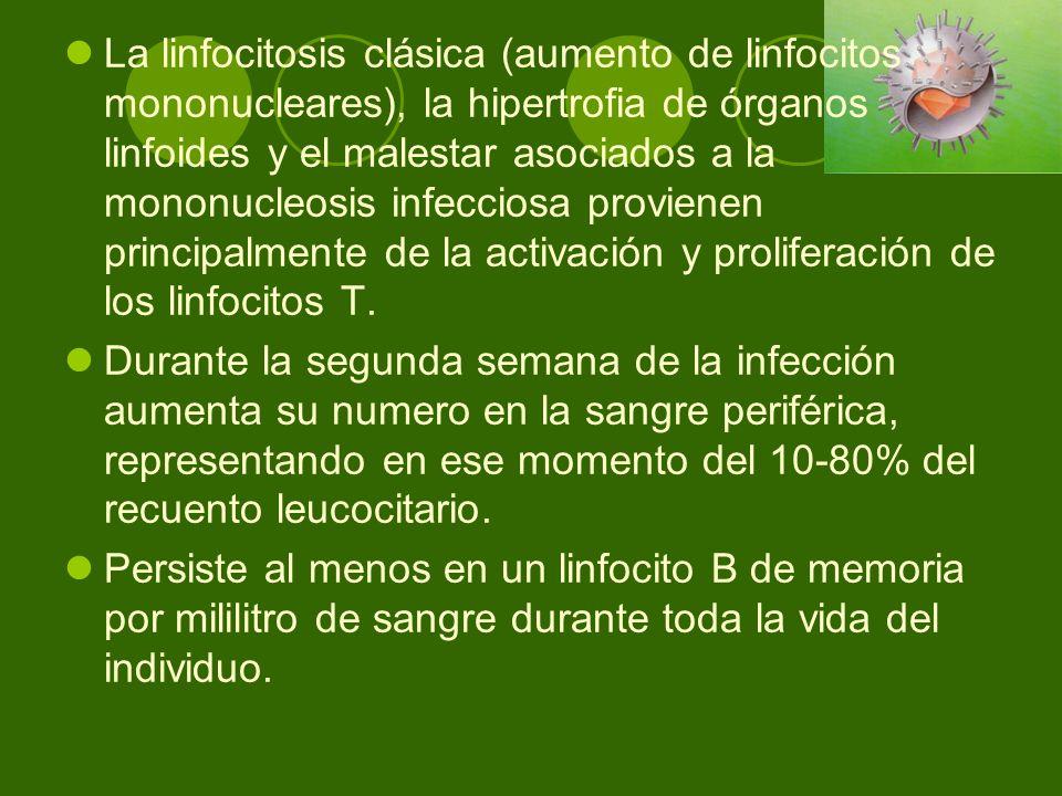 La linfocitosis clásica (aumento de linfocitos mononucleares), la hipertrofia de órganos linfoides y el malestar asociados a la mononucleosis infeccio