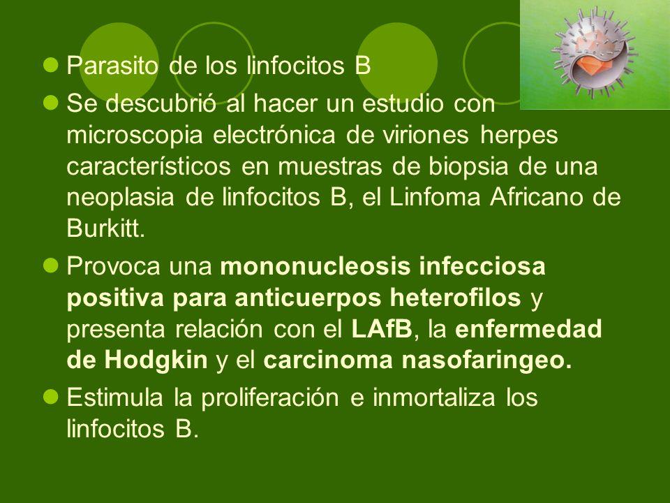 Parasito de los linfocitos B Se descubrió al hacer un estudio con microscopia electrónica de viriones herpes característicos en muestras de biopsia de