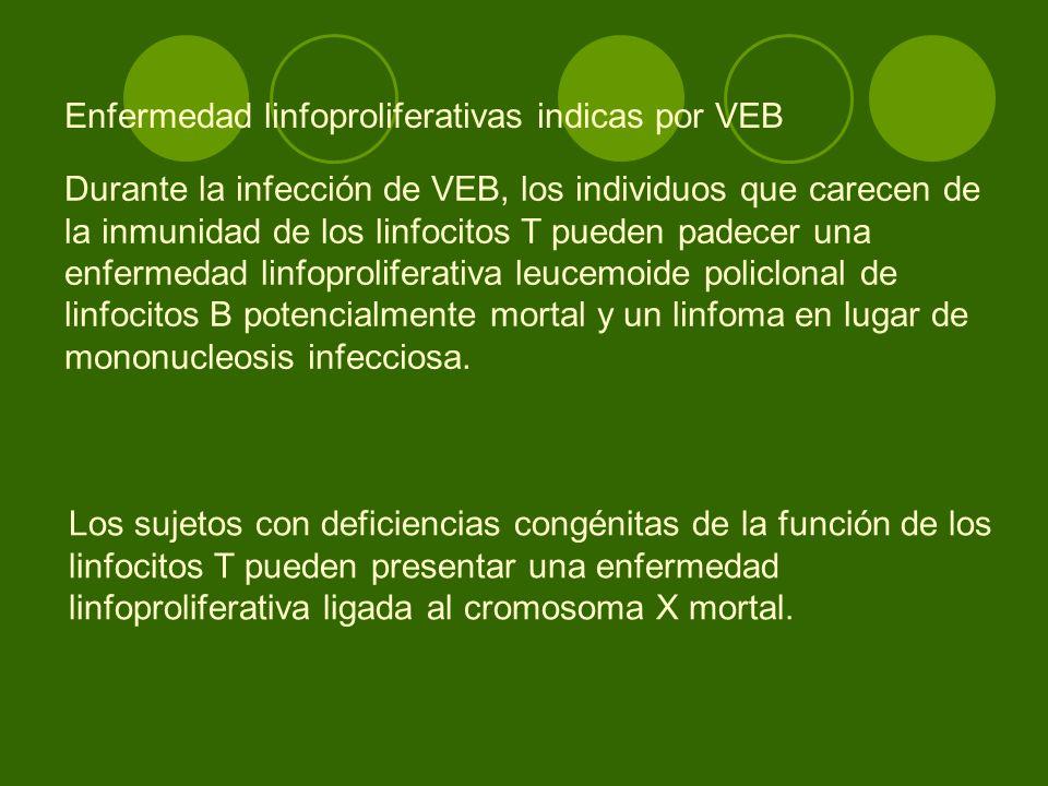 Enfermedad linfoproliferativas indicas por VEB Durante la infección de VEB, los individuos que carecen de la inmunidad de los linfocitos T pueden pade