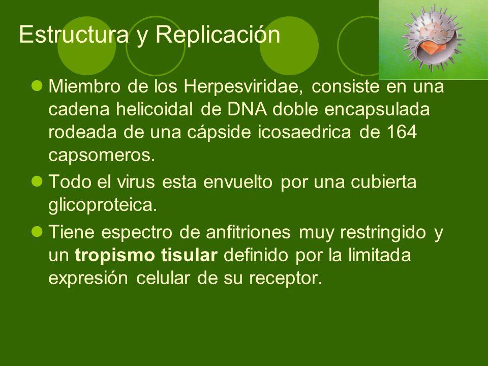 Estructura y Replicación Miembro de los Herpesviridae, consiste en una cadena helicoidal de DNA doble encapsulada rodeada de una cápside icosaedrica d