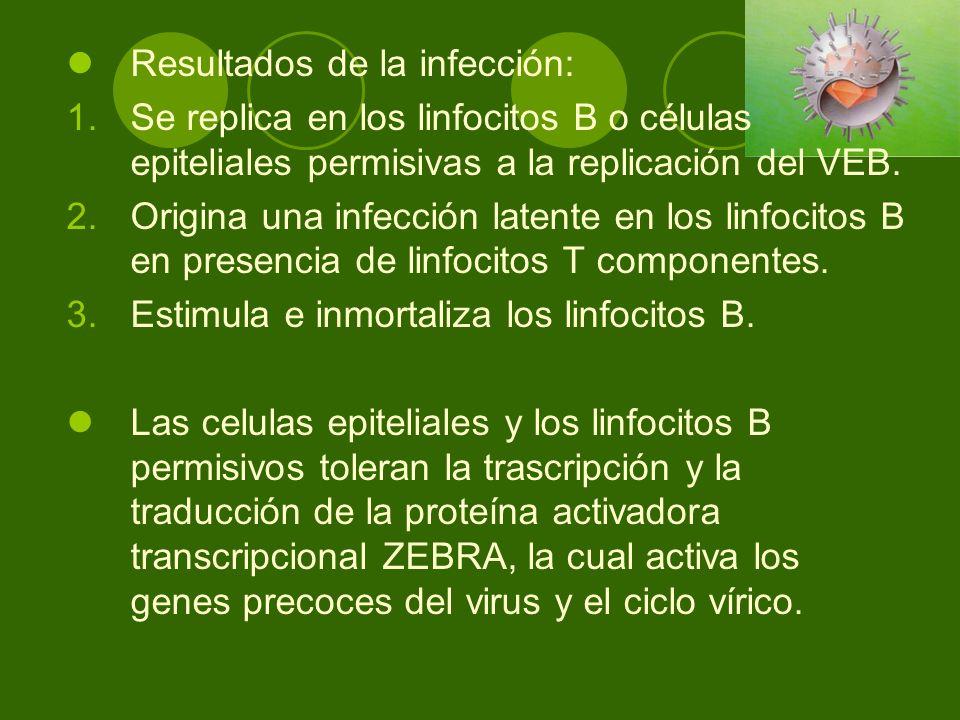 Resultados de la infección: 1.Se replica en los linfocitos B o células epiteliales permisivas a la replicación del VEB. 2.Origina una infección latent
