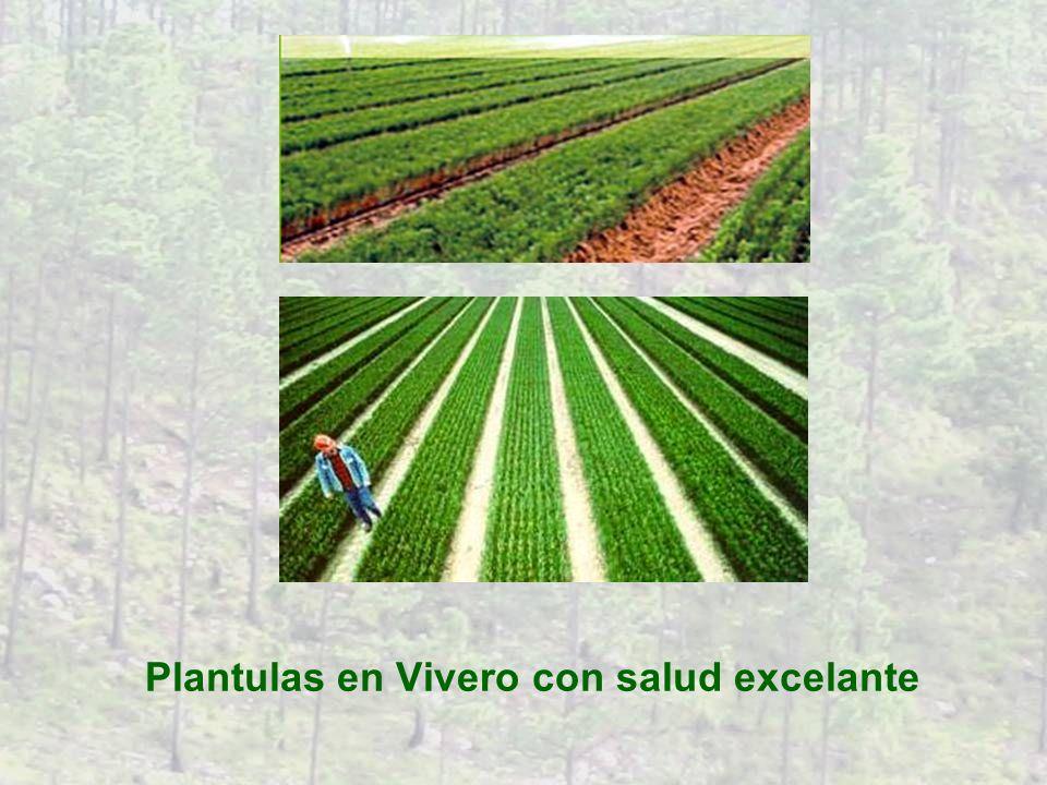 Transplante en el Bosque qual los Plantulas estan optima por nacimiente en el Bosque Vivero