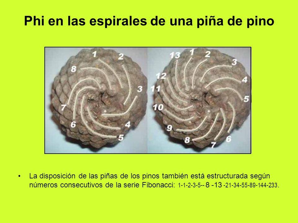 Phi en las espirales de una piña de pino La disposición de las piñas de los pinos también está estructurada según números consecutivos de la serie Fib