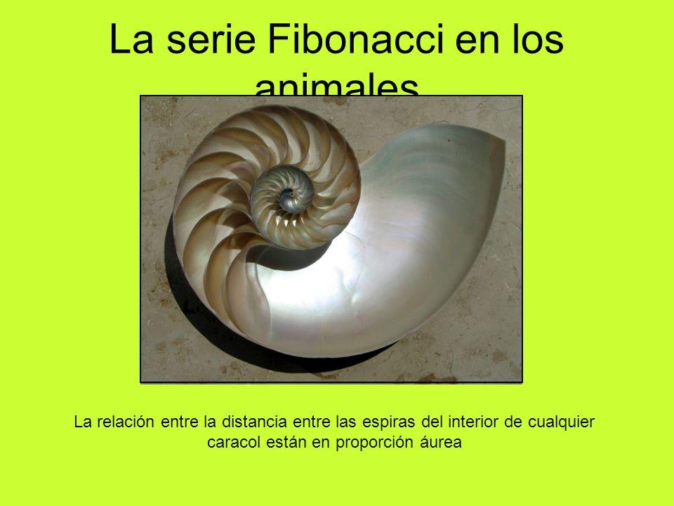 La serie Fibonacci en los animales La relación entre la distancia entre las espiras del interior de cualquier caracol están en proporción áurea