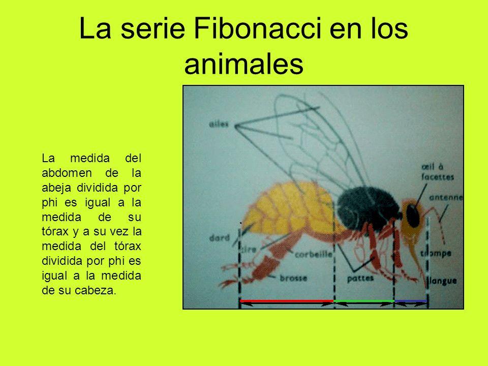 La serie Fibonacci en los animales La medida del abdomen de la abeja dividida por phi es igual a la medida de su tórax y a su vez la medida del tórax