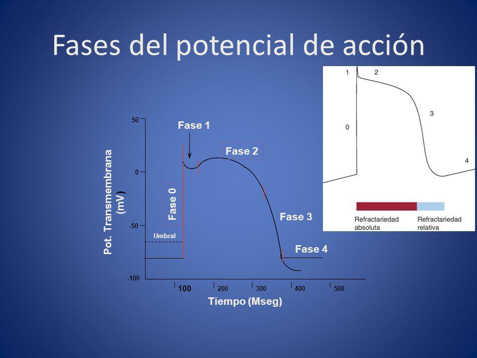 Fases del potencial de acción Tiempo (Mseg) 100 200300400500 Fase 2 Fase 1 Fase 3 Fase 4 Pot. Transmembrana (mV) -50 0 50 -100 Fase 0 Umbral