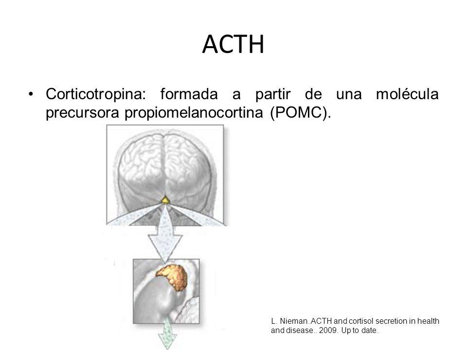 ACTH Corticotropina: formada a partir de una molécula precursora propiomelanocortina (POMC). L. Nieman. ACTH and cortisol secretion in health and dise