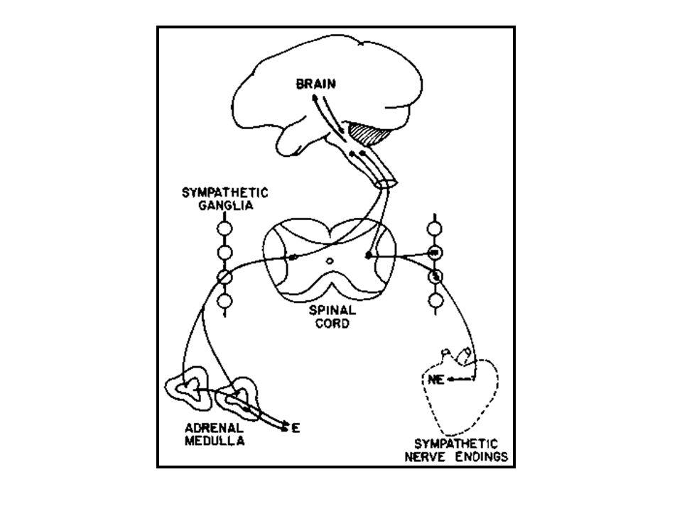 Catecolaminas Transporte 50 a 60% circulan en plasma vinculadas con albúmina Vida media es de 10 segundos a 1.7 min R.