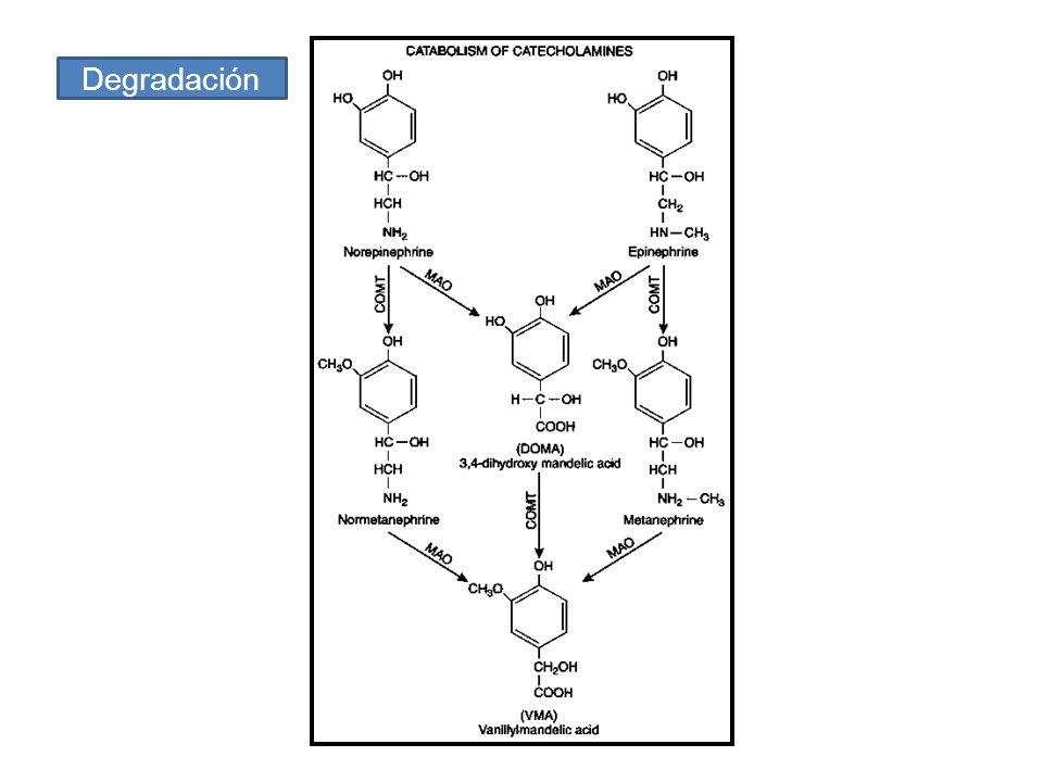 Catecolaminas Receptores α adrenérgicos β adrenérgicos β1β2β3β1β2β3 α 1A α 1B α 1D R.