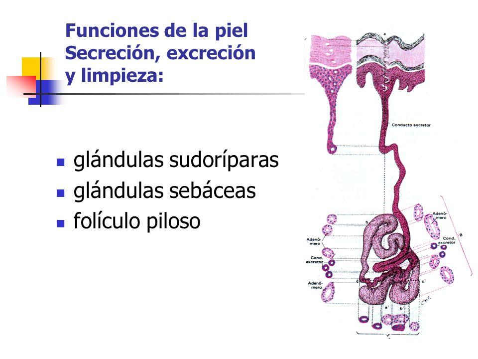 Funciones de la piel Secreción, excreción y limpieza: glándulas sudoríparas glándulas sebáceas folículo piloso