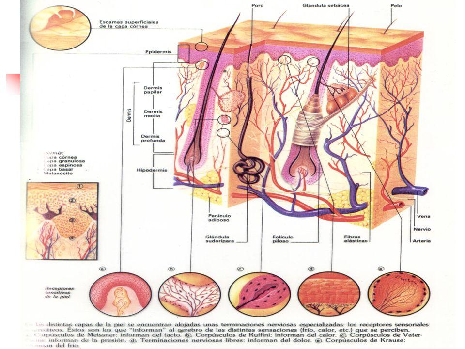 Lesiones macroscópicas Cicatriz: Formaciones de tejido fibroso que reparan las perdidas de sustancias que interesan la dermis.