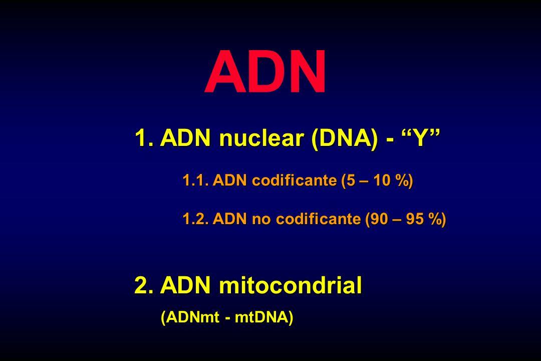 ADN 1. ADN nuclear (DNA) - Y 1.1. ADN codificante (5 – 10 %) 1.2. ADN no codificante (90 – 95 %) 2. ADN mitocondrial (ADNmt - mtDNA) (ADNmt - mtDNA)