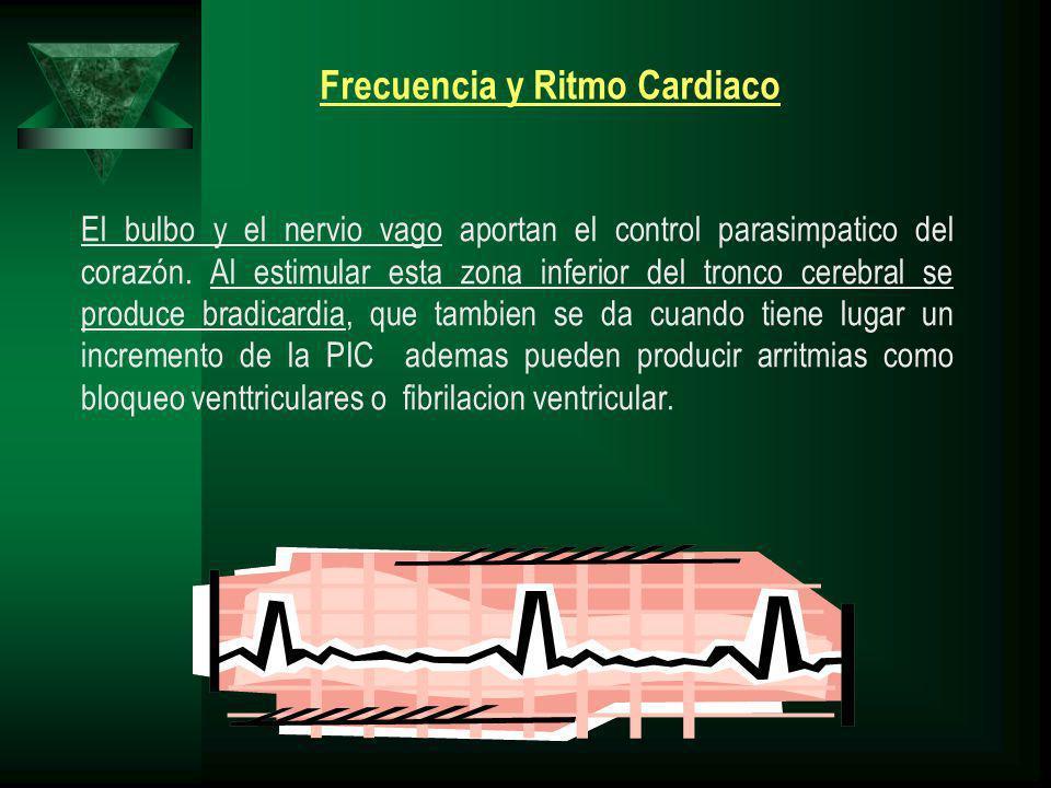 El bulbo y el nervio vago aportan el control parasimpatico del corazón. Al estimular esta zona inferior del tronco cerebral se produce bradicardia, qu