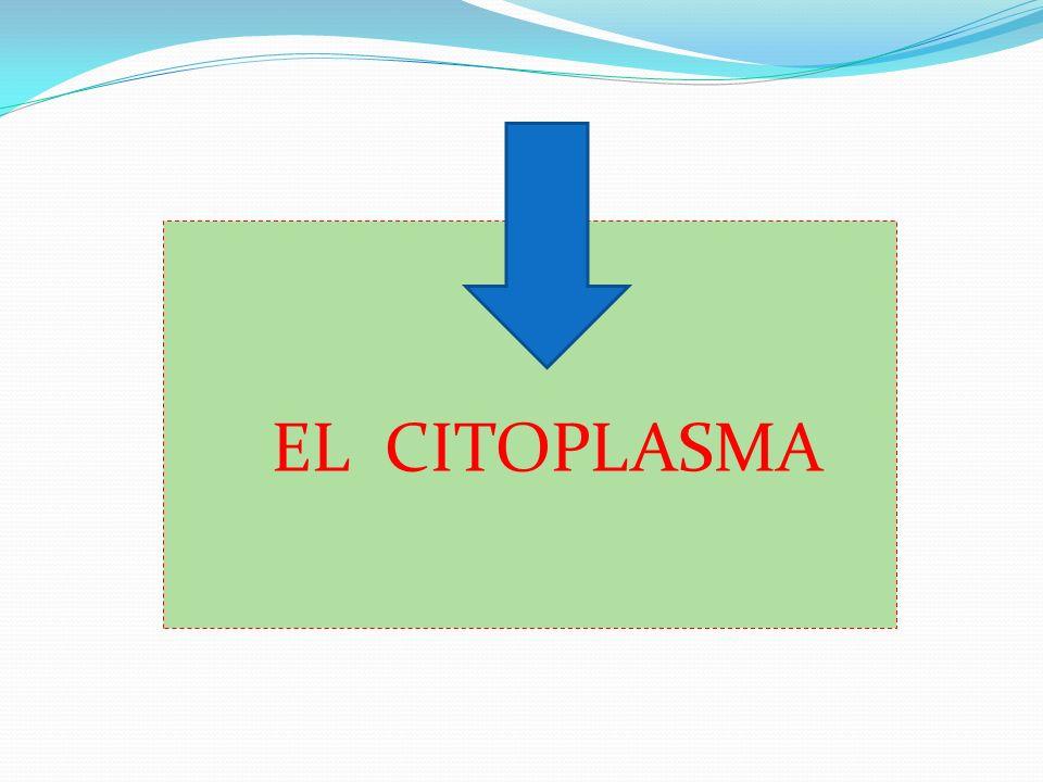 CITOPLASMA El citoplasma de la célula eucariota es similar al de la célula procariota excepto porque las células eucariotas alojan un núcleo y numerosos orgánulos distintos delimitados por una membrana.