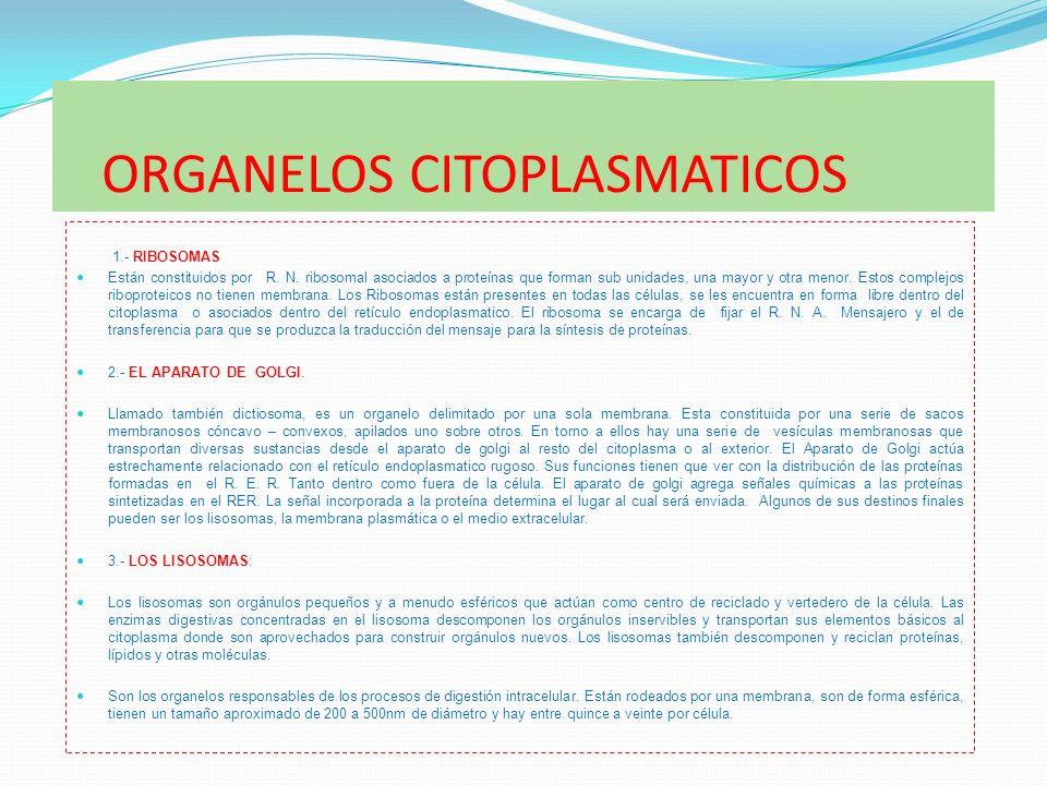 ORGANELOS CITOPLASMATICOS 1.- RIBOSOMAS Están constituidos por R. N. ribosomal asociados a proteínas que forman sub unidades, una mayor y otra menor.