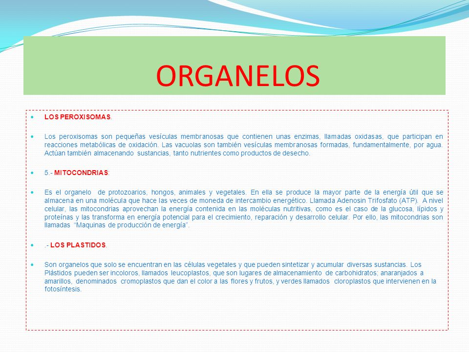 ORGANELOS LOS PEROXISOMAS. Los peroxisomas son pequeñas vesículas membranosas que contienen unas enzimas, llamadas oxidasas, que participan en reaccio