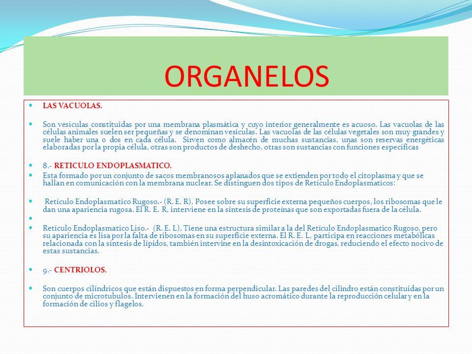 ORGANELOS LAS VACUOLAS. Son vesículas constituidas por una membrana plasmática y cuyo interior generalmente es acuoso. Las vacuolas de las células ani
