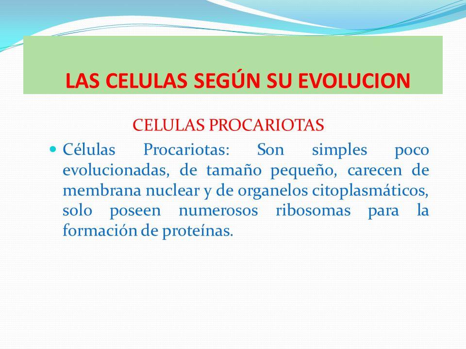 CELULAS EUCARIOTAS Las células eucariotas tienen, por lo general, un tamaño diez veces mayor que las procariotas.