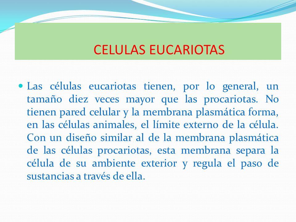 CELULAS EUCARIOTAS Las células eucariotas tienen, por lo general, un tamaño diez veces mayor que las procariotas. No tienen pared celular y la membran