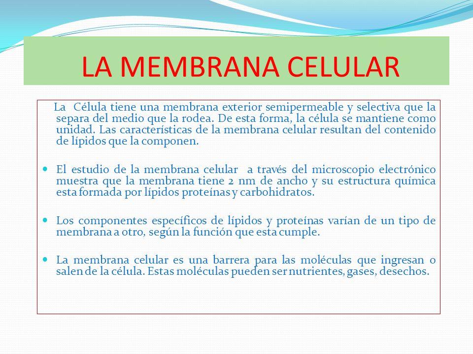 LA MEMBRANA CELULAR La Célula tiene una membrana exterior semipermeable y selectiva que la separa del medio que la rodea. De esta forma, la célula se