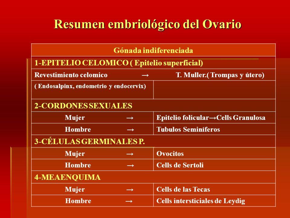Resumen embriológico del Ovario Gónada indiferenciada 1-EPITELIO CELOMICO ( Epitelio superficial) Revestimiento celomico T. Muller.( Trompas y útero)