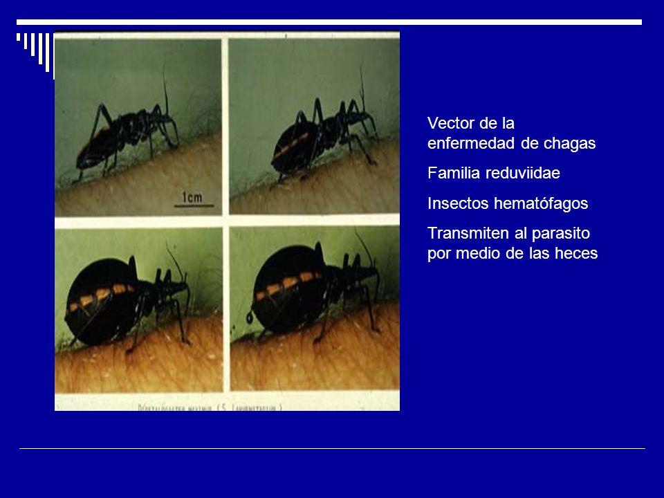 Vector de la enfermedad de chagas Familia reduviidae Insectos hematófagos Transmiten al parasito por medio de las heces