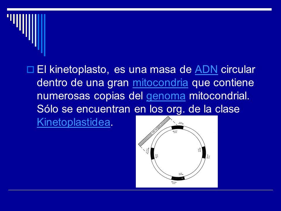 El kinetoplasto, es una masa de ADN circular dentro de una gran mitocondria que contiene numerosas copias del genoma mitocondrial. Sólo se encuentran
