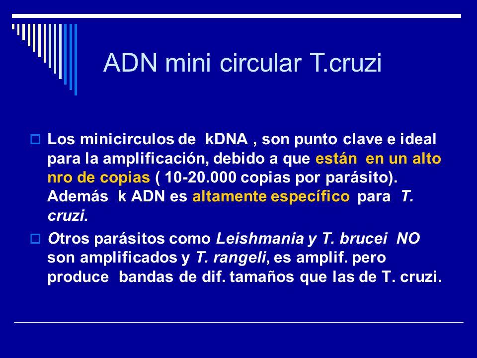 Los minicirculos de kDNA, son punto clave e ideal para la amplificación, debido a que están en un alto nro de copias ( 10-20.000 copias por parásito).
