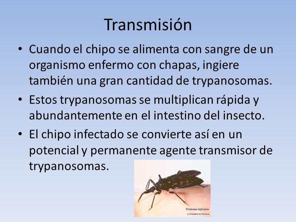 Transmisión Cuando el chipo se alimenta con sangre de un organismo enfermo con chapas, ingiere también una gran cantidad de trypanosomas. Estos trypan