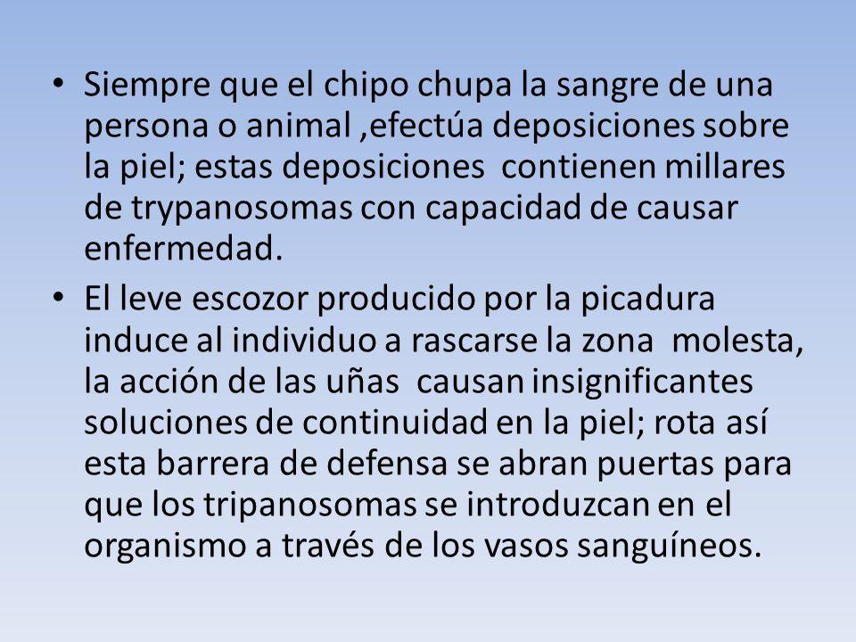 Siempre que el chipo chupa la sangre de una persona o animal,efectúa deposiciones sobre la piel; estas deposiciones contienen millares de trypanosomas